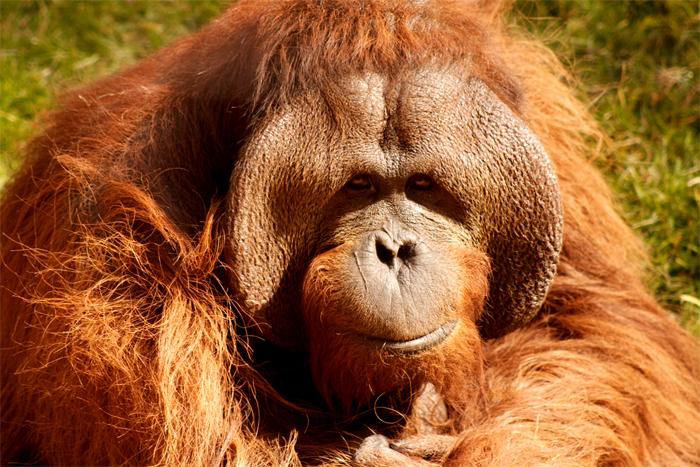Urangutan mascul. Foto de Samuel Luna, Toluca, Mexic. Sursă Wikipedia.