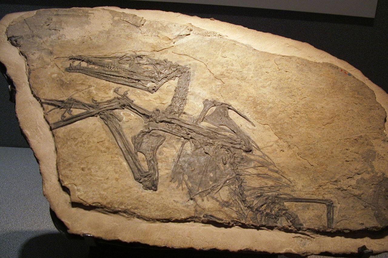 Eudimorphodon ranzii, muzeul de ştiinţe naturale din Bergamo, Italia. Foto de Luigi Chiesa. SDursă Wikipedia.