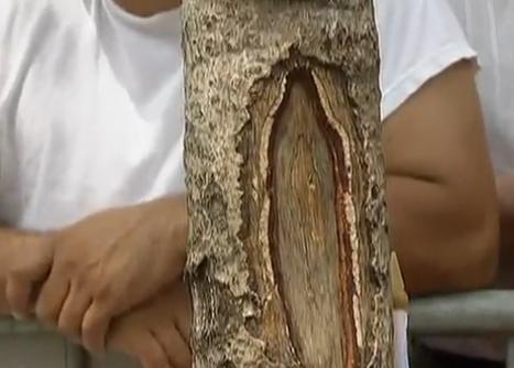 Imaginea Fecioarei Maria a apărut pe trunchiul unui copac în New York